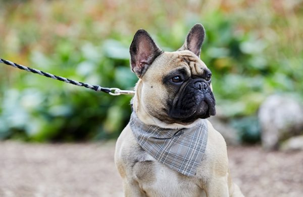 French Bulldog wearing dog bandana