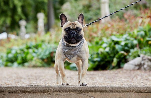 French Bulldog in Glen Plaid bandana