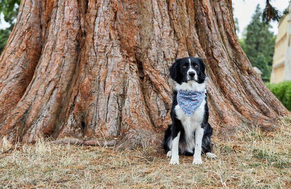 Sprollie wearing dog bandana