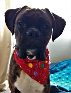 1 year old boxer dog birthday bandana