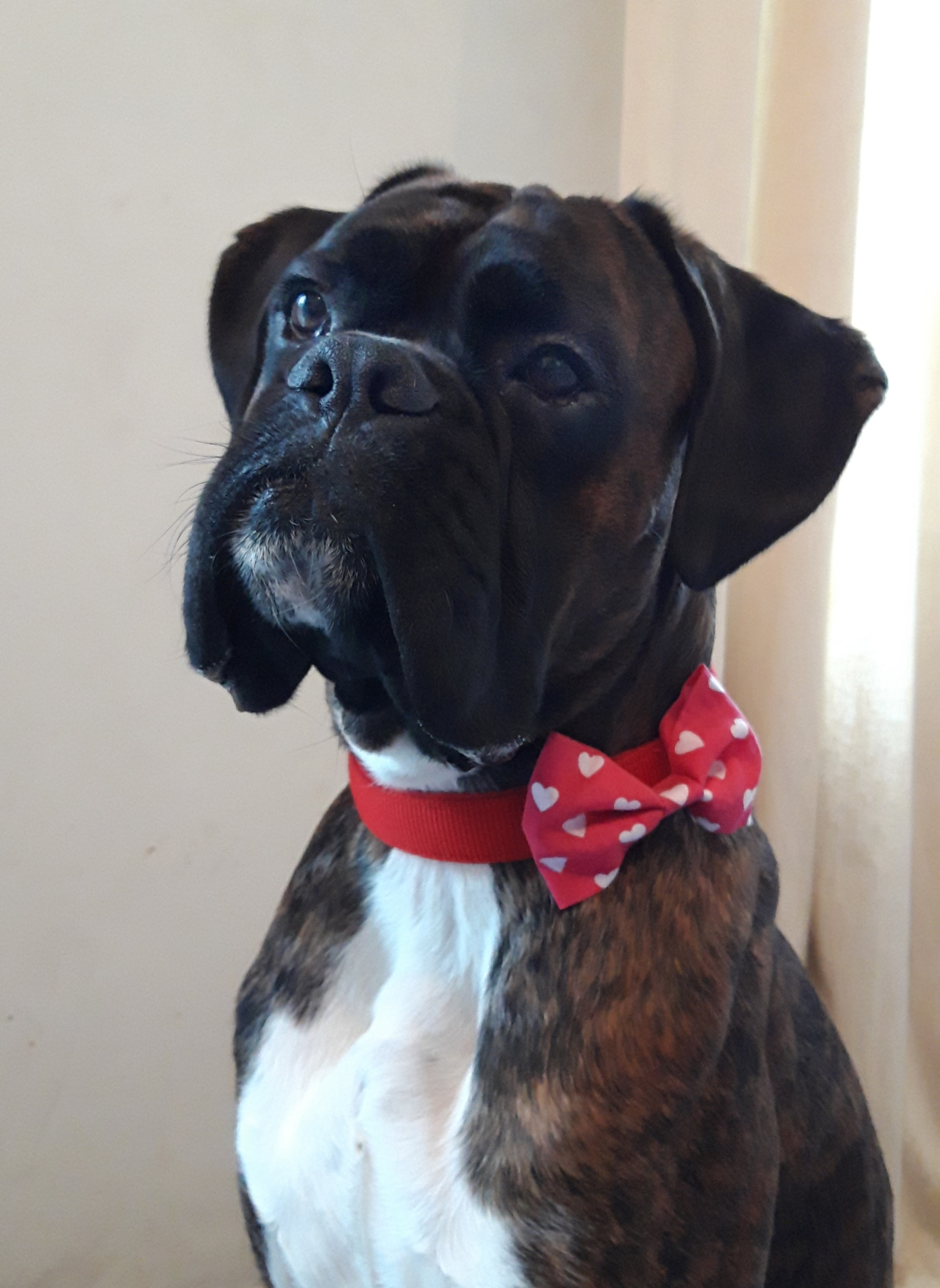 boxer dog in bow tie