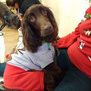 spaniel in Christmas outfit at dog show