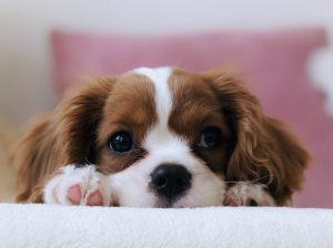 Cute Puppy King Charles Spaniel